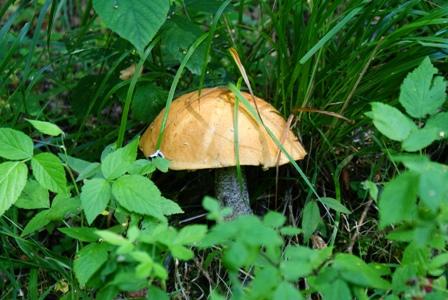 подосиновик,грибы в лесу,фото грибов