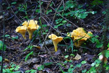 лисички,фото грибов,грибы в лесу