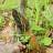 Сморчки грибы.Особенности сбора и приготовления
