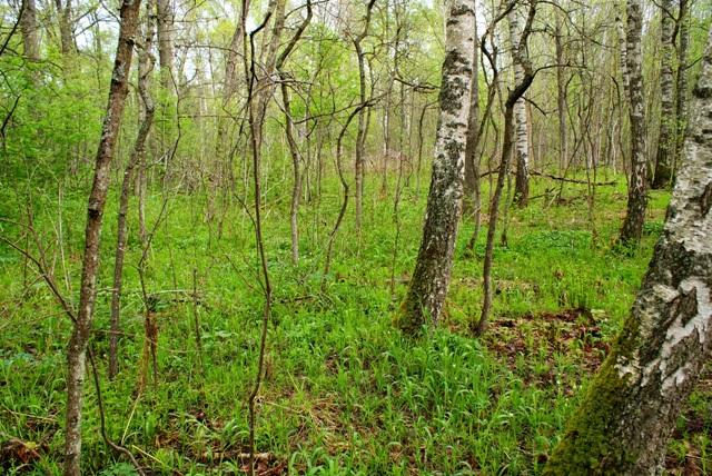Общий вид леса, где растут сморчки