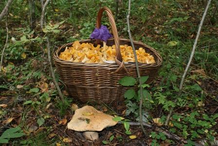 грибы в лесу,съедобные грибы,фото грибов