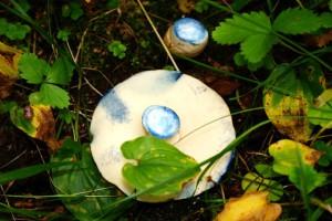фото гриба синяк