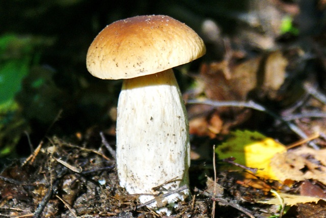белый гриб,фото грибов
