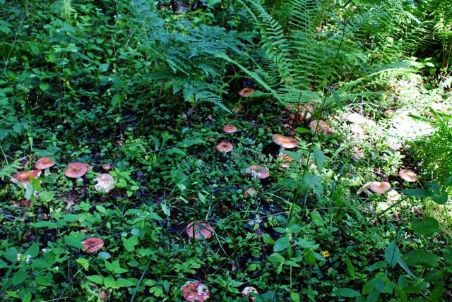 сыроежки,красные сыроежки,фото грибов